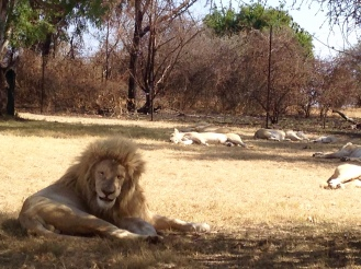 White lion looks happy.
