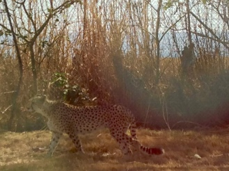 The elusive cheetah. Cheetahs are more tan than leopards. :)
