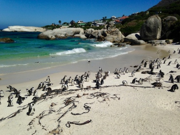 African penguins!
